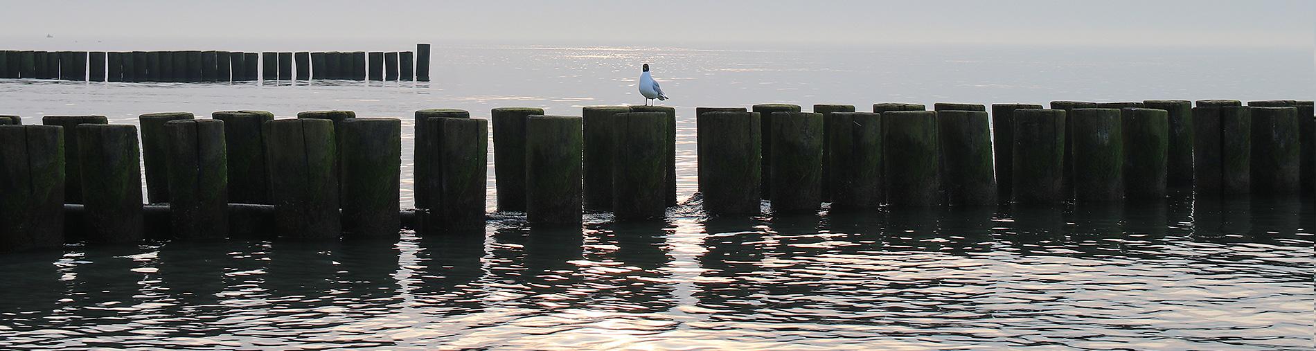 Möwe sitzt auf Buhnenreihe am Strand von Ahrenshoop